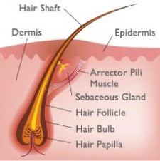 Health Blog 187 Anatomy And Physiology Of Hair