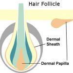 hair_follicle1